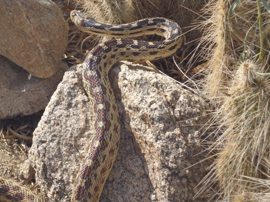 Long gopher snakes are beneficial, eating rodents and roaming over large areas.