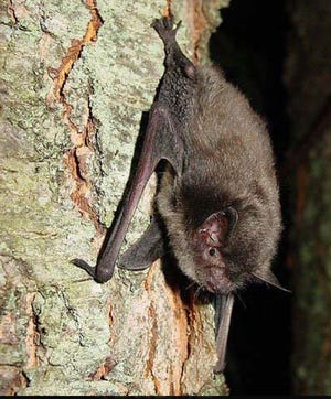 Tree habitat often used by endangered Indiana bats, like this one, was found along the Kansas Expressway Extension corridor.