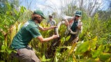 The National Park Service and U.S. Geological Survey have teamed up to track invasive Burmese pythons in Big Cypress National Preserve.