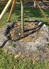 Well-planted trees, shrubsand palms have the roots at the correct level in the soil and a trunk flare should be visible. The tree pictured is planted too deep because no trunk flare is visible above ground.