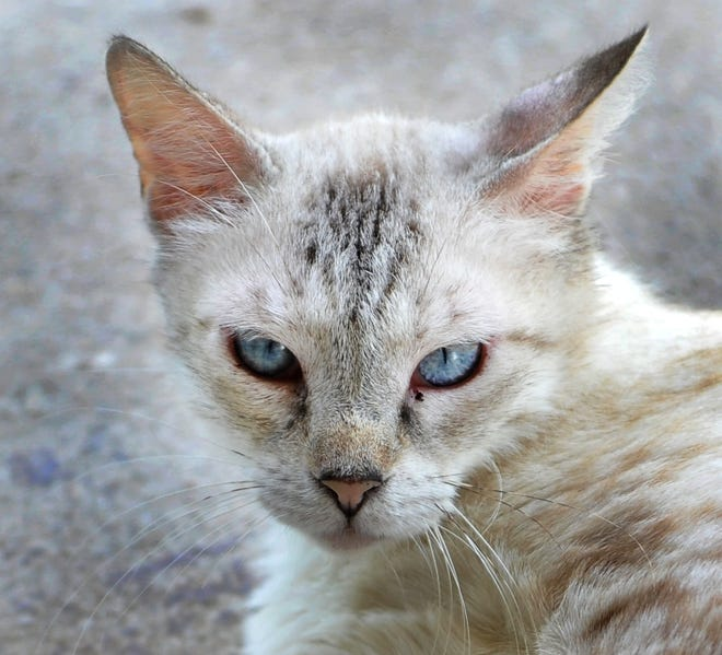 Jennifer is a two-year-old Siamese/mix cat. She is good with other cats, dogs are questionable. You can find Jennifer with her friends at the Humane Society of Wichita County located on Iowa Park Rd.