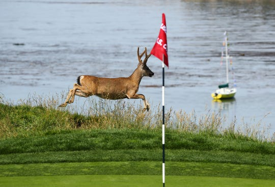 A buck dashed past the fourth green as Tiger Woods played a practice round at Pebble Beach.