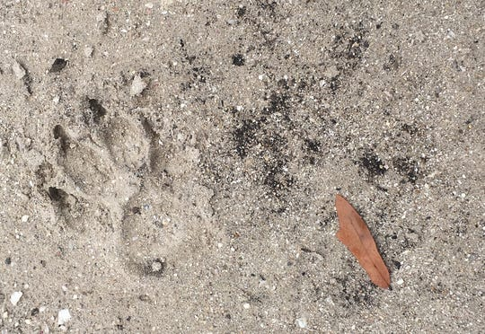 Mims resident Wayne Doler snapped this picture of a bear's footprint after he saw it in a neighbor's yard.