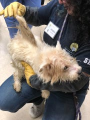 A dog rescued from the hoarding situation in Hunterdon County on Tuesday, June 11.