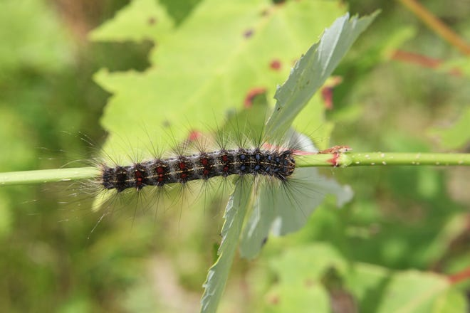 The gypsy moth caterpillar, active in early summer, is up to 2 inches long, hairy and covered in rows of spots in blue and brick red. Oak and aspen trees are a preferred food