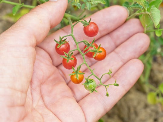 These pea-sized currant tomatoes (Solanum pimpinellifolium) are the wild precursors to our modern-day tomatoes. They may be small but they pack a big flavor punch, with the crucial TomLoxC flavor gene recently discovered by scientists to be lacking in most modern varieties. (Dreamstime/TNS)