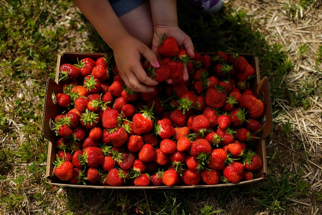 The fruits of a picker's labor -- a flat full of strawberries, in June 2016 at Blaser's Acres in Suamico.