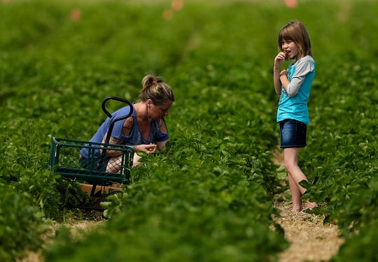 A mother and daughter pick strawberries in 2016 at Blaser's Acres in Suamico. A cool, wet spring has delayed the start date at the pick-your-won strawberry patches in northeastern Wisconsin.