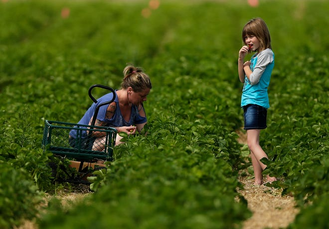 A mother and daughter pick strawberries in 2016 at Blaser's Acres in Suamico.