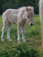 Pikachu, a two month old miniature horse, is missing from a Laurens County farm.