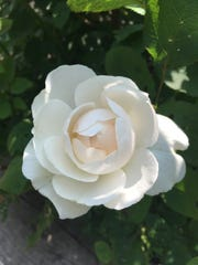 Not all roses are red, as this stunning white English rose attests.