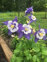 Blue columbine splashes with color and typically blooms in late spring.
