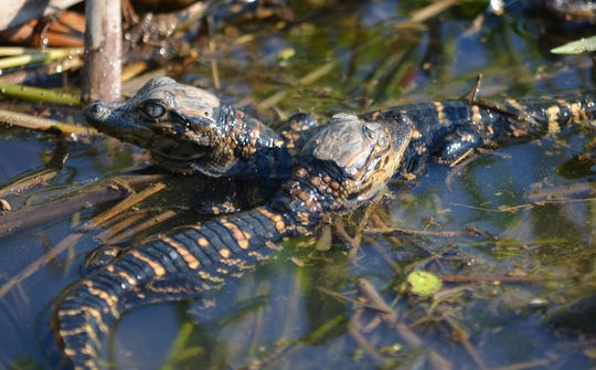 Alligator nests and hatchlings face an uphill battle in the flooded south Delta.