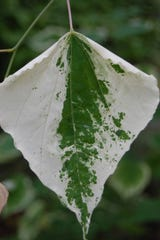 This 'Silver Cloud' redbud leaf variegation was formed during a cool spring. The gene that controls expression of the variegation is impacted by temperature.