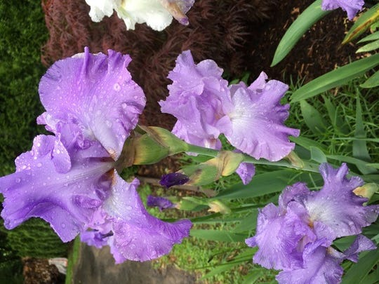 Even with raindrops adorning its petals, this iris in the Aburabia garden was beautiful planted among other blossoms.