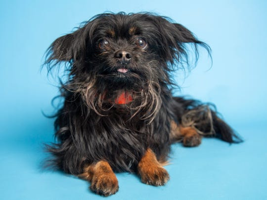 Sir Didymus is available for adoption on June 16, 2019, at noon at 1521 W. Dobbins Road in Phoenix. For more information, call 602-997-7585 and ask for animal number 605895.