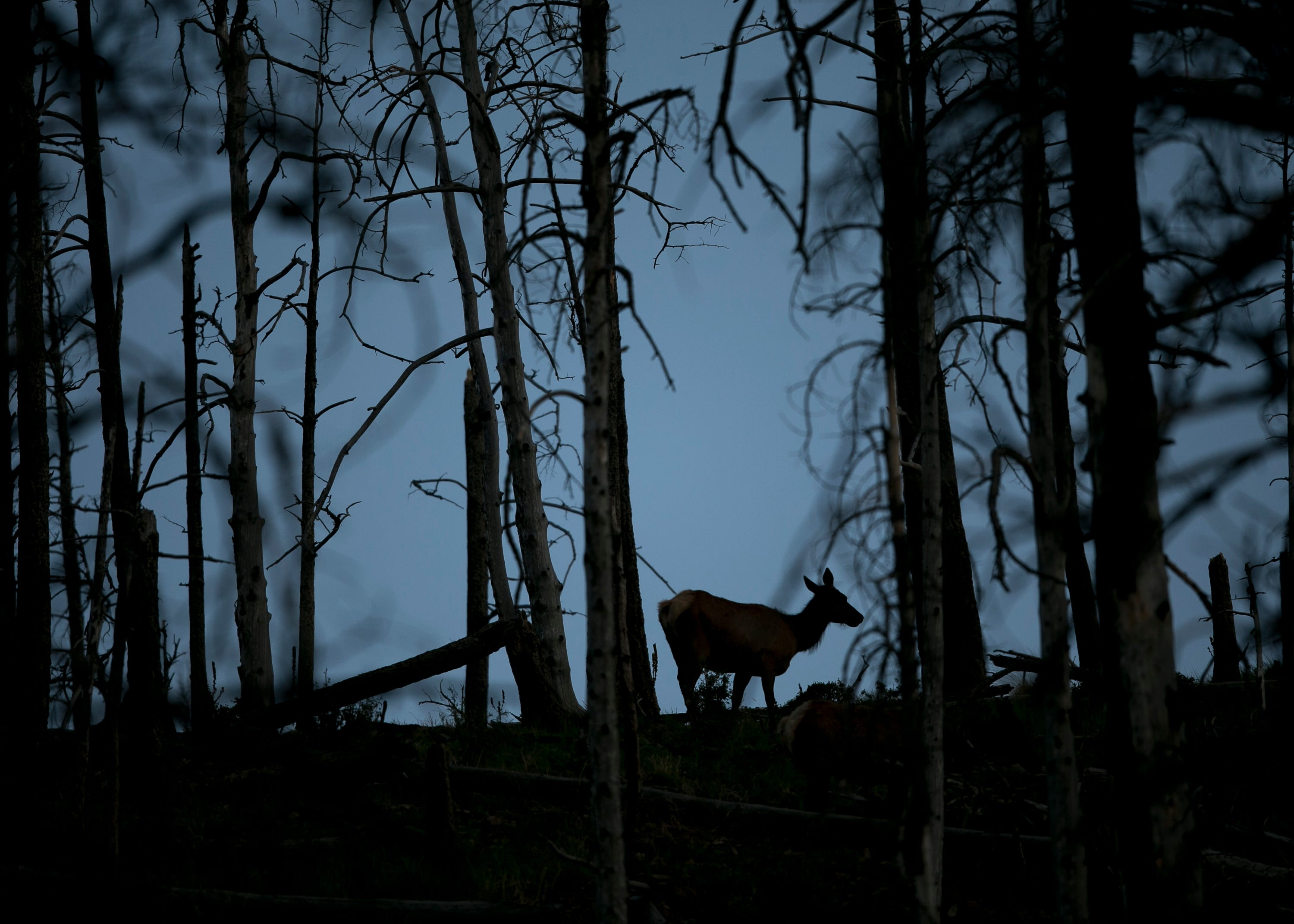 A deer walks through the trees of a burn scar from the 2012 Little Bear Fire in Ruidoso, New Mexico, on May 31, 2019.