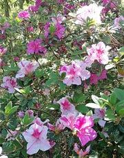 Autumn Twist Encore azaleas have beautiful large bi-color pink and purple blooms.