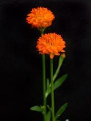 Orange milkwort is a native herb, with brilliant flowers.