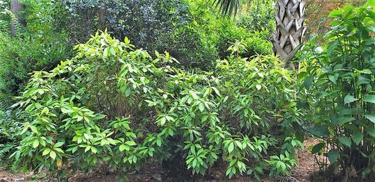 Florida anise blends in well with other shrubs, especially in a woodland setting.