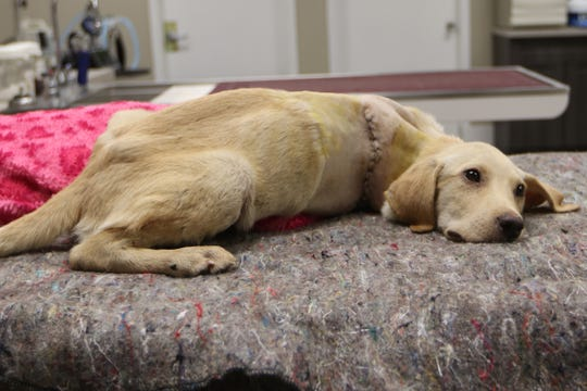 Everett, a 5-month-old Labrador retriever mix puppy, was shot at close range, causing his front right leg to be amputated and his back left leg to be severely injured. He was found at W.R. Tolar K-8 School in Bristol Monday, June 10, 2019. The pup is recovering under the care of Buck Lake Animal Hospital and the Leon County Humane Society.