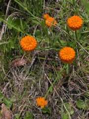Orange milkwort is a native bloomer in damp places in the Coastal Plain.
