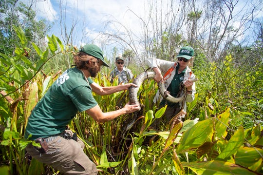Researchers (from left) Austin Fitzgerald, biological science technician with the U.S. Geological Survey, Matthew McCollister, biologist with the National Park Service, and Jillian Josimovich, biologist with the U.S. Geological Survey, wrangle a Burmese python named Charlie 5 out of alligator flag in Windmill Prairie on Thursday, June 6, 2019, at Big Cypress National Preserve. A group of state, federal and private partners have teamed up for several years to conduct research on the invasive species and have ultimately removed hundreds of pythons between them.