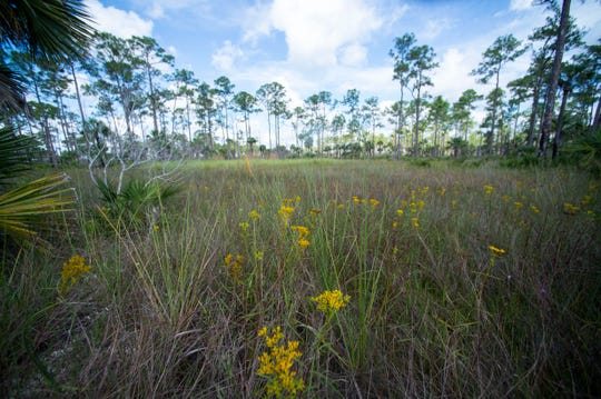 Big Cypress National Preserve stretches over 729,000 acres and includes five habitats: pinelands (pictured), prairies, hardwood hammocks, cypress swamps and estuaries. Invasive Burmese pythons have been found throughout the preserve, destroying populations of raccoons, opossums, bobcats, rabbits, foxes and more.