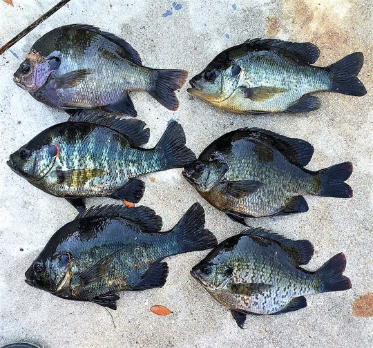 Anglers who enjoy frying up some bluegill fillets for dinner may want to think twice as summertime algae blooms have returned to Lake Okeechobee and at least one canal in Palm Beach County.