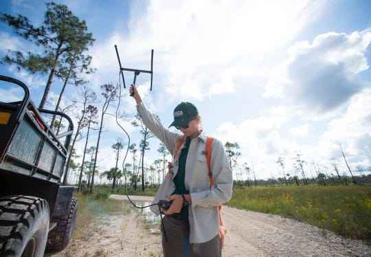 "Jillian Josimovich, biologist with the U.S. Geological Survey, uses a tracker to find Burmese python Charlie 5 on Thursday, June 6, 2019, at Big Cypress National Preserve. Because a radio transmitter is surgically installed into his scaly skin, the team of researchers had an idea of where Charlie 5 was located, but had to hike through thick underbrush in high heat to get to him. ""These guys are brutally cryptic and hard to find,"" Josimovich said."