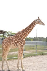 Jioni is one of two giraffes that was killed by a lightning strike at Lion Country Safari in Loxahatchee, Florida in May 2019.