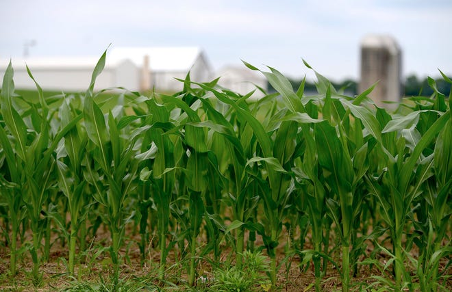 The U.S. Department of Agriculture has lowered its estimate of this year's corn crop to the lowest in four years, saying wet weather has delayed planting and reduced acres planted and the expected per-acre yield. Production was cut in a monthly report released Tuesday, June 11, 2019, by 1.4 billion bushels to 13.7 billion bushels, the lowest since 2015.