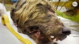 The severed head of a wolf that may have died more than 30,000 years ago has been unearthed in Siberia.