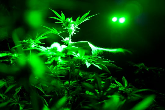 A May 20, 2019, file photo shows marijuana plants in a grow room using green lights during their night cycle in Gardena, Calif. According to research released on Wednesday, June 12, 2019, archaeologists have unearthed the earliest direct evidence of people smoking marijuana from a 2,500-year-old graveyard in western China.