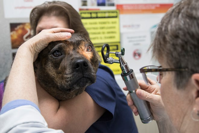 Veterinarian Dr. Glynes Graham, center, checks on Rosalie with assistant Sue Affholter at the Patterson Dog and Cat Hospital in Detroit, Thursday, June 13, 2019.