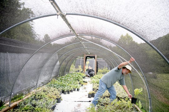 Brian White works in one of his greenhouses at his nursery in Maynardville, Tenn., on June 12, 2019. White grows a slew of rare hosta varieties and works as a consultant with the Knoxville Botanical Garden and Arboretum.