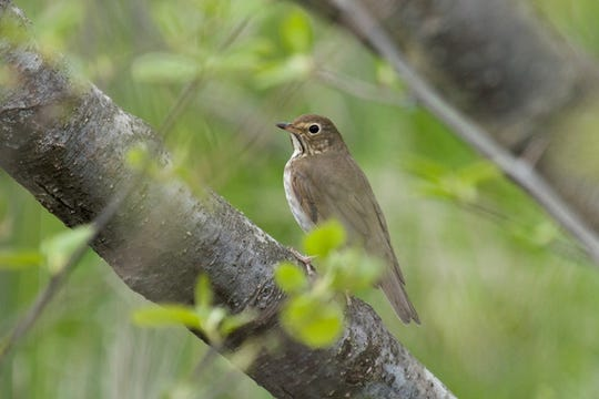 A Swainson's thrush, a migratory songbird, at Woodland Dunes in Two Rivers.