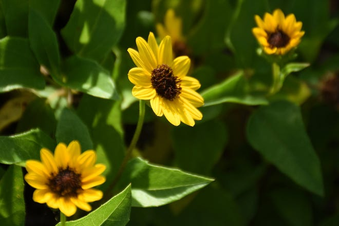 Dune or beach sunflower blooms year-round. Planting native and Florida-friendly ground covers, shrubs and trees is one way to help the environment.