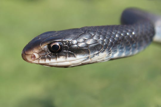 An example of a southern black racer snake.