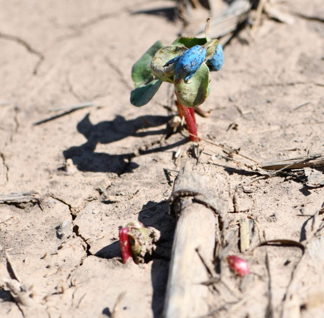 A seed coat remains on a delayed 3-week-old cotton seedling, while the establishment of a second plant was prevented as the leaves got caught up in the crusting process.