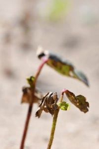 Even though early stages of growth were stressed, some cotton is starting to see the first true leaves develop and while severely delayed, rapid growth should occur with hot, dry conditions.