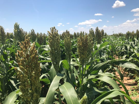 Sorghum flowers in the afternoon sun off of Farm-to-Market Road 380 near San Angelo on Thursday, June 13. Many agricultural operations are behind schedule in Texas due to abundant rains, according to the latest crop report from Texas A&M AgriLife Extension Service.