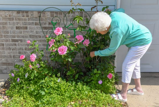 Peg Nieber checks in on the mother duck that made a nest in her rosebush Thursday, June 13. Nieber said she wonders what will happen once the eggs in the nest hatch.