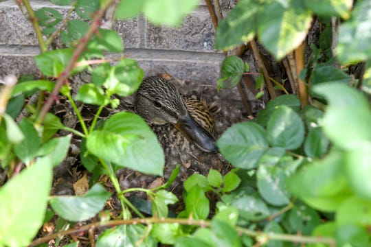 A mother duck protects the nest she made in a rosebush in a residential neighborhood Thursday, June 13.