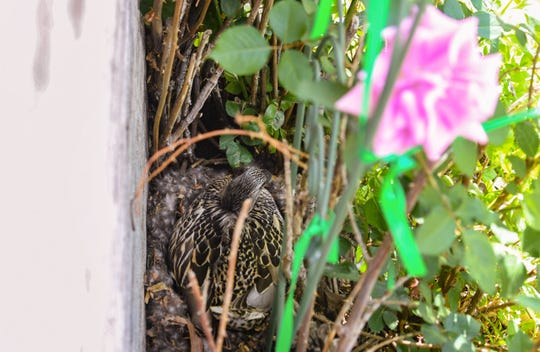 A mother duck nests in Peg Nieber's rosebush Thursday, June 13. The mother has not moved since being found two weeks ago, according to Nieber.