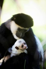 Asante, a black and white colobus monkey, holds her baby June 13, 2019 at Dickerson Park Zoo.