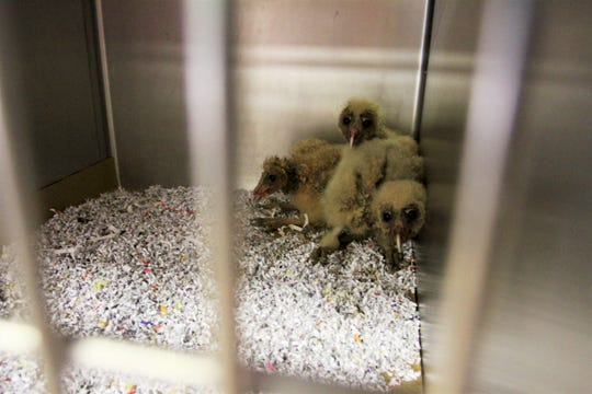 Baby barn owls that were brought to  Dickerson Park Zoo for rehabilitation Thursday, June 13, 2019.