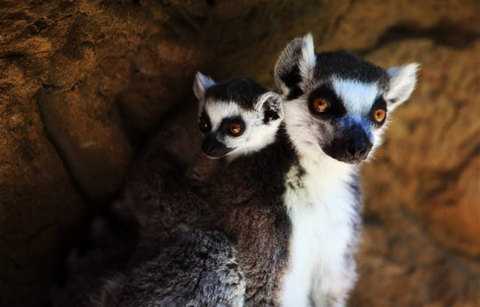 Basil, a ring-tailed lemur, was born to mom Edelweiss on April 10, 2019 at Dickerson Park Zoo. They are shown in a photo taken Thursday, June 13, 2019 at the zoo in Springfield, Mo.