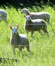 Sheep graze on fresh pasture Wednesday, June 12, at Maple Hill Garden near Long Prairie.
