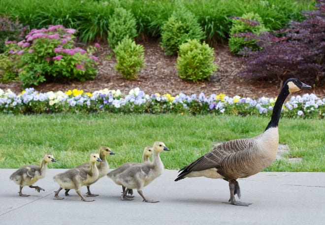 A mother goose walks with her goslings near Art Crossing in downtown Greenville.